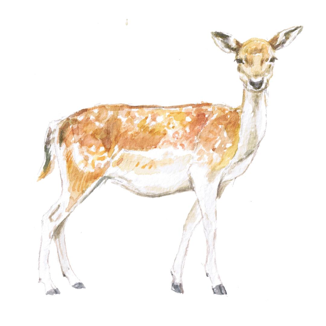 fallow deer illustration