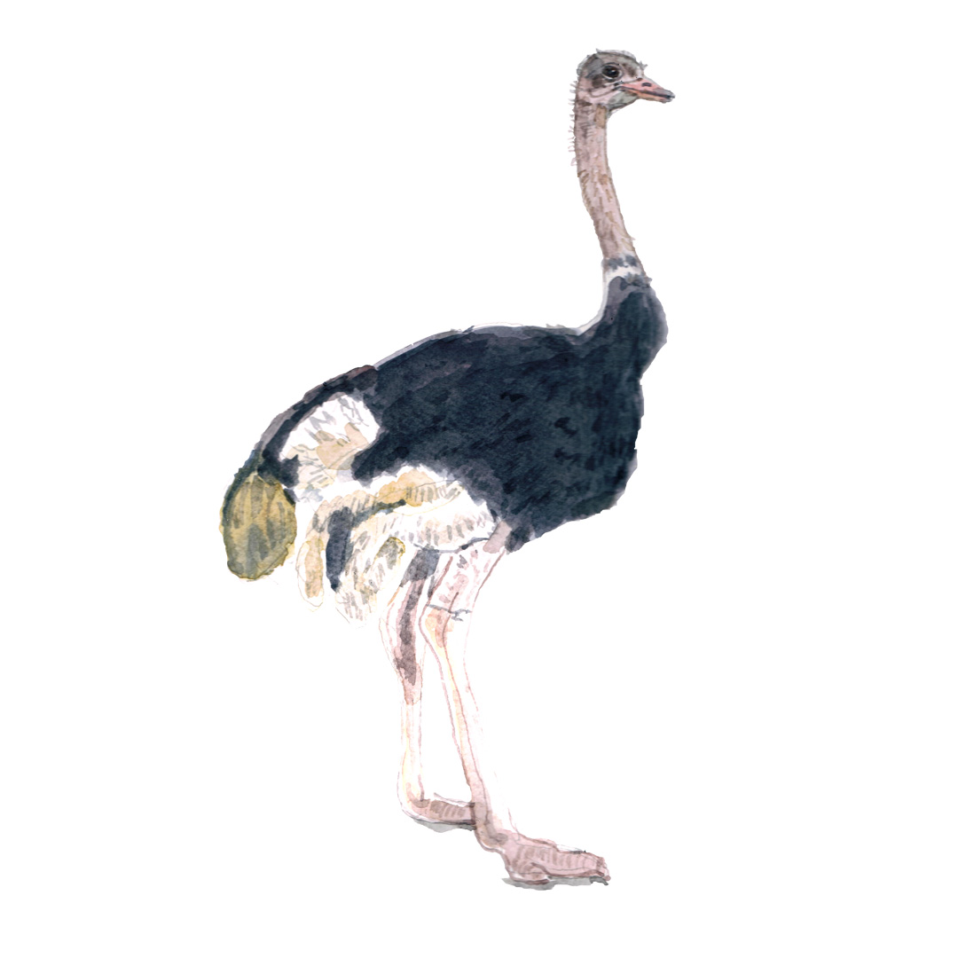 Watercolour illustration of an Ostrich
